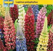 Seminte flori Lupin peren (Lupinus polyphyllus) Minarette Mix 0.5g