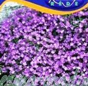 Seminte flori Aubrieta mov 0,25g