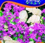 Seminte flori Pana zburatorului (Lunaria rediviva) 0.5g