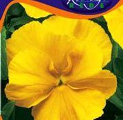 Seminte flori Panselute (Viola x witrockiana) galbene 0,25g