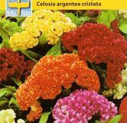 Seminte flori Creasta Cocosului (Celosia argentea cristata) Dwarf Mix 0.5g