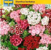 Seminte flori Garoafe turcesti (Dianthus barbatus) Single/Double Mix 0.5g