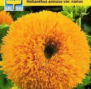 Seminte flori Floarea Soarelui decorativa Dwarf sungold Galben (Helianthus annuus var. nanus) 1g