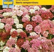 Seminte flori Lilicele (Iberis sempervires) amestec de culori 1g