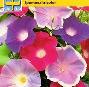 Seminte flori Zorele (Ipomoea tricolor) mix 1g