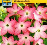 Seminte flori Regina Noptii (Nicotiana affinis) roz 0.5g
