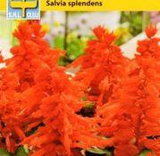 Seminte flori Salvia (Salvia splendens) 0.3g