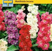 Seminte flori Mixandre (Matthiola incana) mix de culori 1g