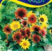 Seminte flori Floarea soarelui decorativa Paquito (Helianthus annuus) amestec de flori