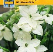 Seminte flori Regina Noptii (Nicotiana affinis) alba 0.5g