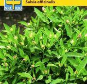 Seminte Salvie (Salvia officinalis) 1g