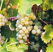 Butasi Vita de Vie Sauvignon Blanc