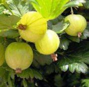 Arbusti fructiferi Agris Rezistent de Cluj/MUCURINES