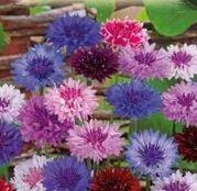 Seminte flori  Albastrele Mix (Centaurea Cyanus) 1g
