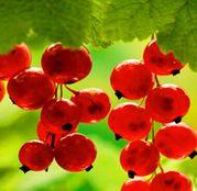 Arbusti fructiferi Coacaz Rosu