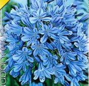 Bulbi de flori Agapanthus Umbellatus  Blue 1buc