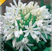 Bulbi de flori Agapanthus Umbellatus White 1buc