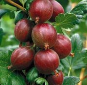 Arbusti fructiferi Agris Hinnonmaki rosu