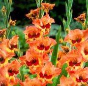 Bulbi de flori Gladiole Alice 10 buc