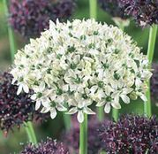 Bulbi de flori Ceapa ornamentala Allium Duo Purple & White 6buc