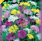 Bulbi de flori Ceapa ornamentala Allium Mix 25buc