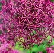 Bulbi de flori Ceapa ornamentala Allium Christophii 5buc