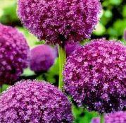Bulbi de flori Ceapa ornamentala Allium Giganteum 1buc