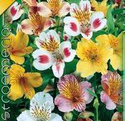 Bulbi de flori Alstroemeria mix 3buc