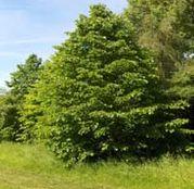 Arbusti fructiferi Alun Turcesc - 1 planta