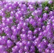 Seminte flori Alyssum violet - Lobularia Maritima 0.3g