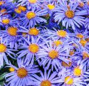 Seminte flori  Aster albastru (Aster amellus) 0.1g