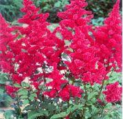 Bulbi de flori Astilbe X Arendsii Rosii 1buc