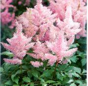 Bulbi de flori Astilbe X Arendsii Roz 1buc