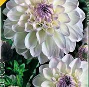 Bulbi de flori Dalia Ball Eveline 1buc