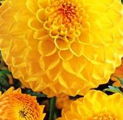 Bulbi de flori Dalia Ball Golden Torch 1buc