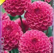Bulbi de flori Dalia Ball Peter 1buc
