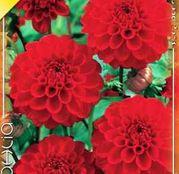 Bulbi de flori Dalia Ball Red Cap 1buc