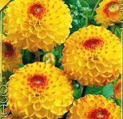 Bulbi de flori Dalia Ball Sunny Boy 1buc