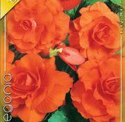 Bulbi de flori Begonia Large flower Copper 3buc