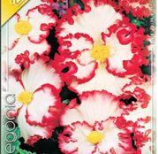 Bulbi de flori Begonia Crispa Marginata White 3 buc