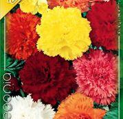 Bulbi de flori Begonia Fimbriata 3buc