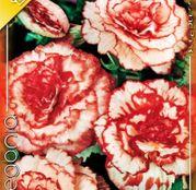 Bulbi de flori Begonia Marmorata 3buc