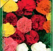 Bulbi de flori Begonia Multiflora Maxima Mix 3buc