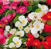 Seminte flori Begonia Mix (Begonia semperflorens) 0.01g