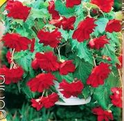 Bulbi de flori Begonia Pendula Red 3 buc