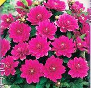 Bulbi de flori Dalia Border Bluesette 1buc
