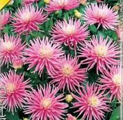 Bulbi de flori Dalia Border Park Princess 1buc