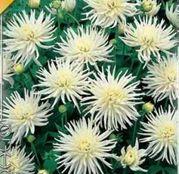 Bulbi de flori Dalia Border Playa Blanca 1buc