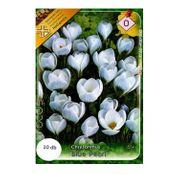 Bulbi de flori Brandusa Crocus Chrysanthus Blue Pearl 10buc