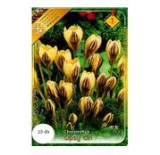 Bulbi de flori Brandusa Crocus Chrysanthus Gipsy Girl 10buc